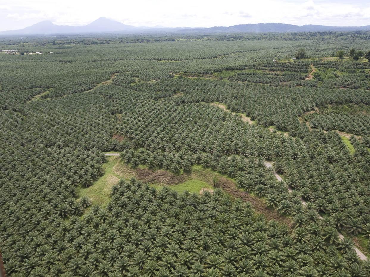 https://www.italiaambiente.it/wp-content/uploads/2017/06/Coltivazione-estensiva-palma-da-olio.jpeg