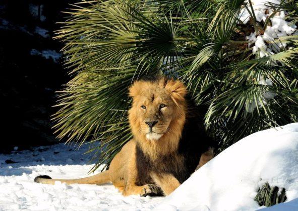 Leone sotto la neve al Bioparco