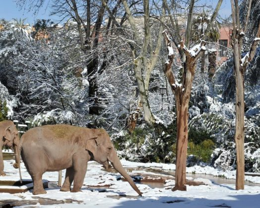 Elefanti sotto la neve al Bioparco