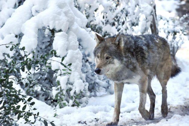 Lupo sotto la neve al Bioparco