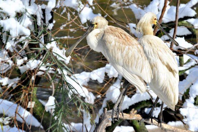 Uccello spatola sotto la neve al Bioparco