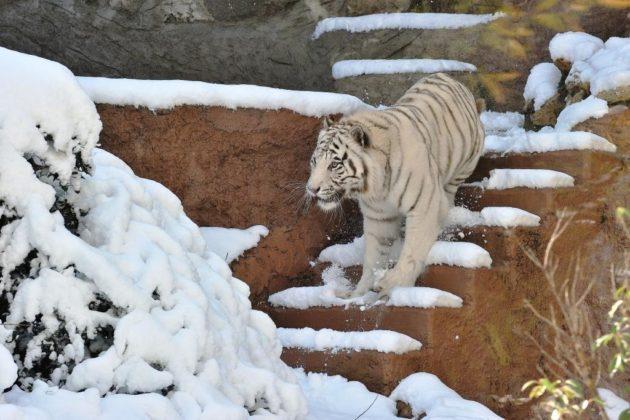 Tigre bianca sotto la neve al Bioparco