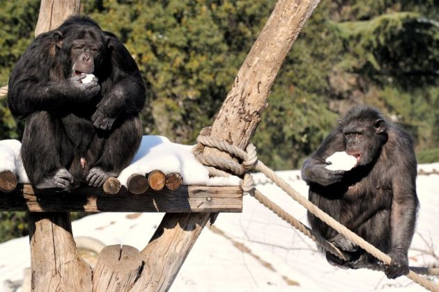 Scimpanzè sotto la neve al Bioparco
