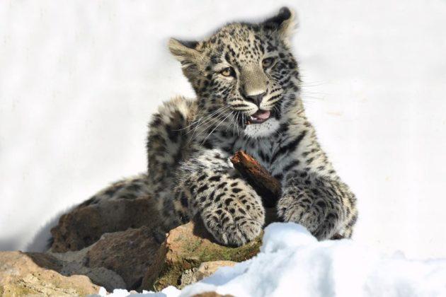Leopardo dell'Iran sotto la neve al Bioparco