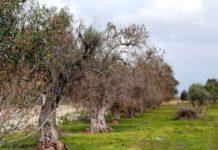 Ulivi affetti da xilella: obbligatorio trattarli con i pesticidi