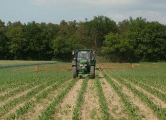 Campo di mais in lavorazione agricola