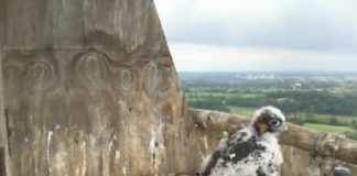 Falchetto pellegrino osservato da Birdcam