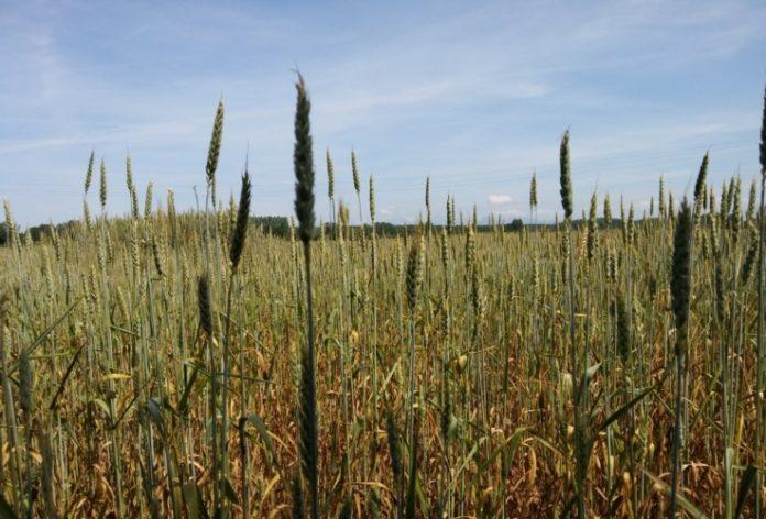 Grano biologico per un'agricoltura biologica