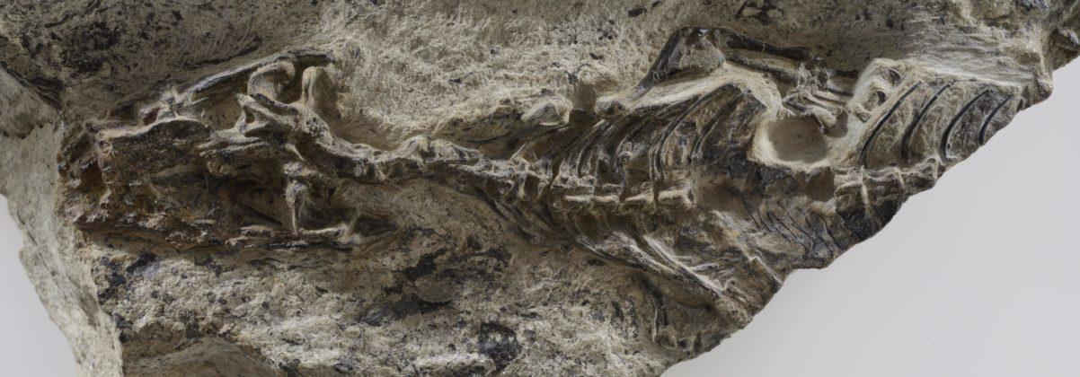 Megachirella, ®MUSE - Museo delle Scienze di Trento