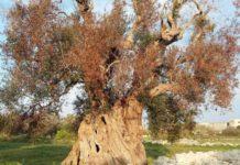 Xylella: innesti su alberi millenari, tra cui la 'Regina'