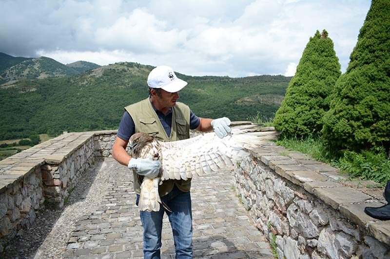 L'aquila dei serpenti curata in Val d'Agri, prima di essere liberata