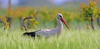 Cicogna bianca - L.Sebastiani