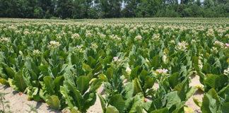 Coltivazione di tabacco Kentucky