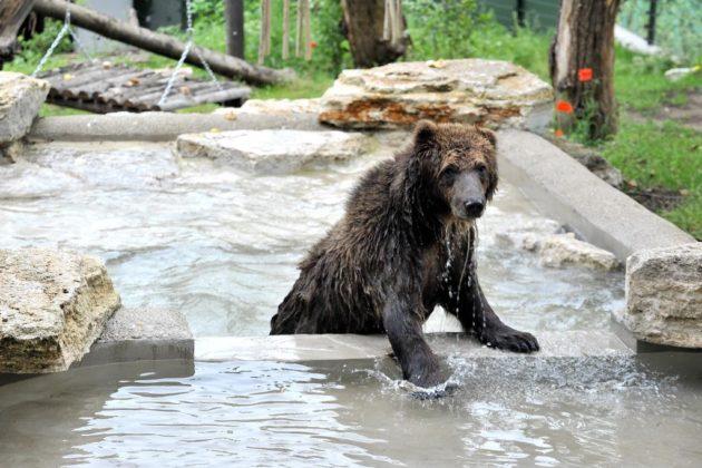 Dall'Albania al Bioparco- gli orsi salvati