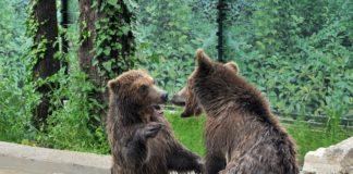 Gli orsi albanesi salvati e portati al Bioparco
