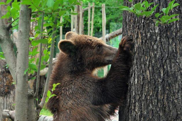 Gli orsi dall'Albania al Bioparco