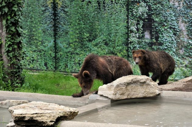 Gli orsi salvati e poi portati al Bioparco