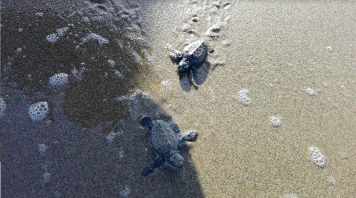 Nidificazione delle tartarughe marine sulle spiagge dell'Isola d'Elba