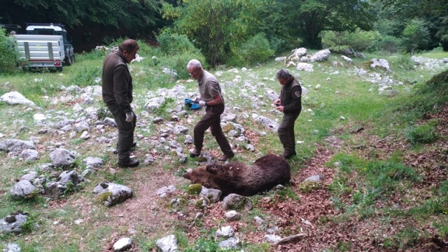 Orso morto in Abruzzo, l'autopsia conferma cause naturali