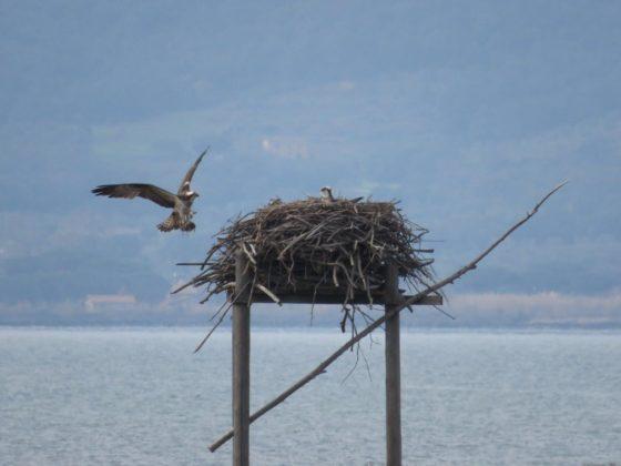 Falco pescatore sul proprio nido artificiale in Maremma, foto di Alessandro Troisi