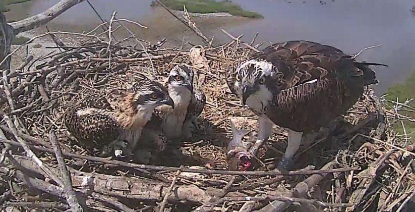 Fermo immagine sul nido dei falchi pescatore dalle telecamere di monitoraggio, Alessandro Troisi