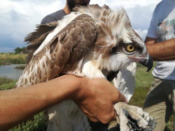 Falco pescatore inanellato, foto di Alessandro Troisi