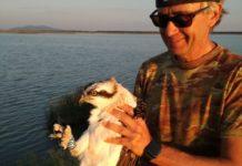 """Giampiero Sammuri, """"padre"""" del progetto, durante le operazioni di inanellamento del falco pescatore"""