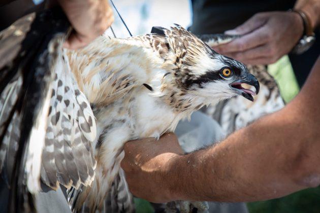 Falco pescatore durante l'attività di inanellamento, foto di Alessandro Troisi