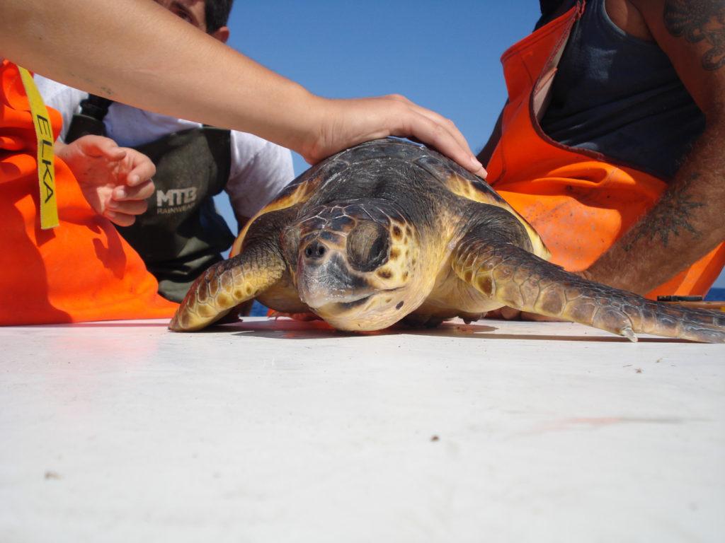 Tartaruga marina salvata a bordo di un peschereccio