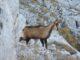 Camoscio appenninico, Parco Nazionale dei Monti Sibillini