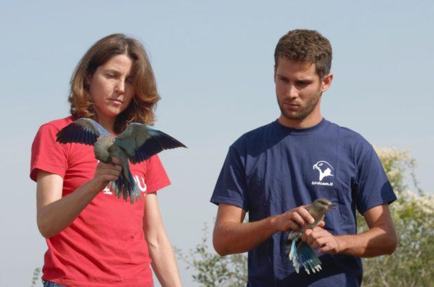 Ghiandaia marina prima del rilascio