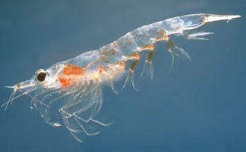 Krill, il piccolo gamberetto che vive nelle acque dell'Oceano Antartico