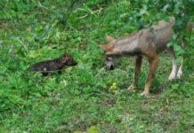 Lupi nel Parco Nazionale d'Abruzzo
