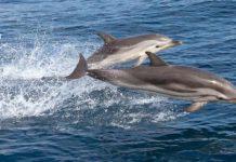 Stenella striata, delfini nel Mediterraneo