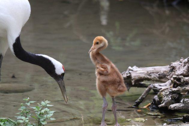 Il piccolo di gru della Manciuria al Parco Natura Viva di Bussolengo