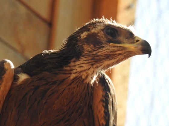 Uno dei cinque piccoli di aquila di Bonelli