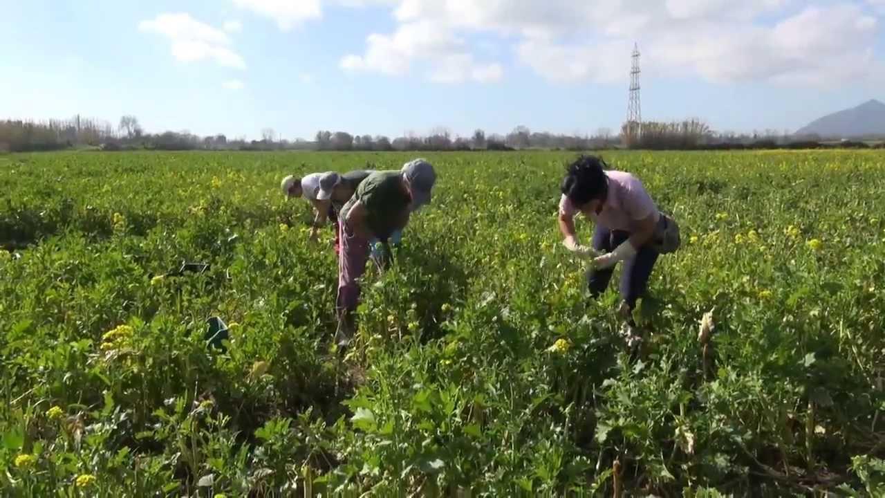 Operai agricoli al lavoro