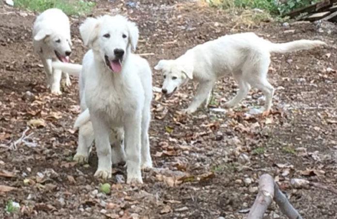 I cani da guardiania donato dal Parco dell'Appennino Lucano agli allevatori