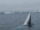 Balenottera minore nei mari antartici (WWF)
