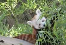 Panda rosso con bambù al Parco Natura Viva