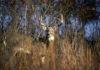 Cervi, lunedì al via la caccia nel Parco dello Stelvio