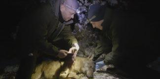 Un momento durante l'applicazione del radiocollare ad uno dei due lupi da parte dei tecnici del Parco Nazionale dei Monti Sibillini