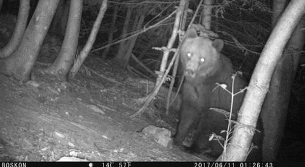 L'orso Eloisio, ucciso da un cacciatore sloveno