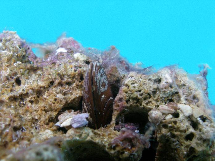 Dattero di mare