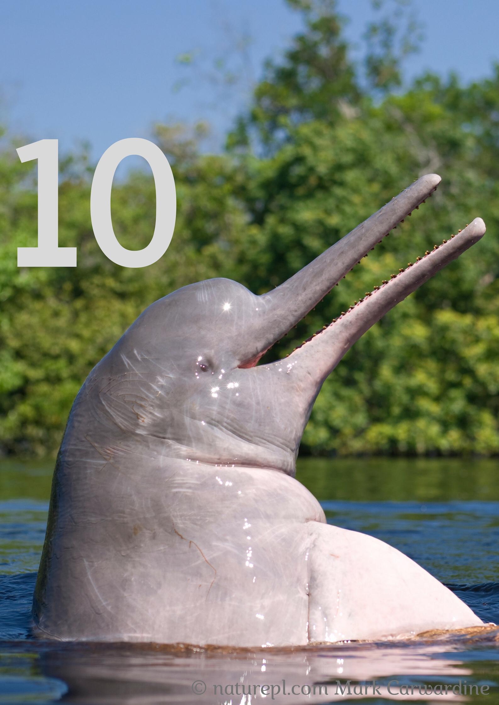 Il delfino platanista del fiume Indo