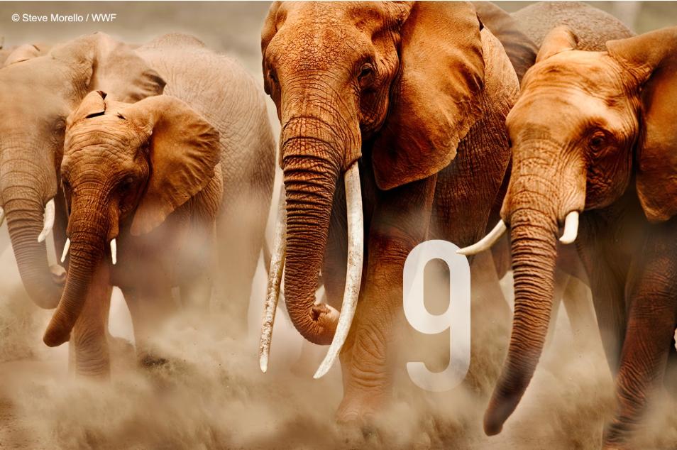 Elefanti con le loro zanne d'avorio