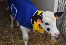 Cappottini in dotazone ai vitelli per salvaguardarli dal freddo