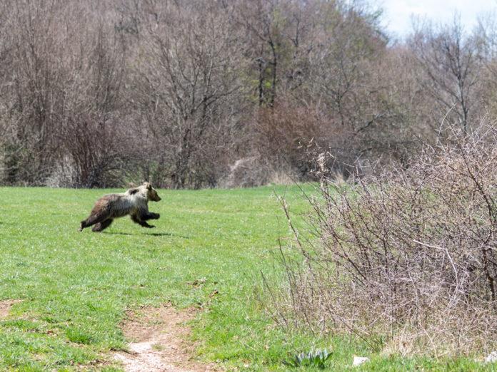 Cucciolo di orso bruno marsicano nel Parco Nazionale d'Abruzzo