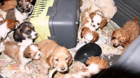 Traffico di cuccioli, immagine d'archivio