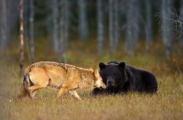 Lupo e orso, foto dal post di Sergio Costa